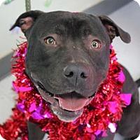 Adopt A Pet :: Porkchop - Erwin, TN