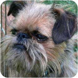 Brussels Griffon Dog for adoption in Mesa, Arizona - MAVERICK in Mesa, AZ.
