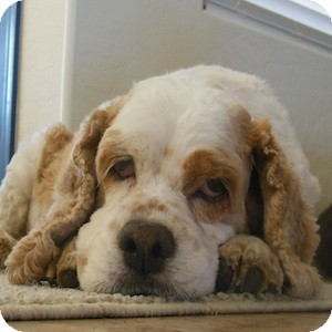 Cocker Spaniel Dog for adoption in Phoenix, Arizona - Millie