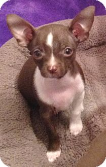 Chihuahua Puppy for adoption in Orlando, Florida - Chispy#4M