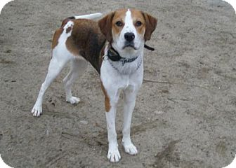 Hound (Unknown Type) Mix Dog for adoption in Acushnet, Massachusetts - Gina