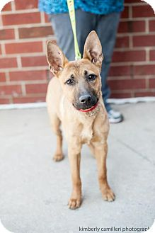 Shepherd (Unknown Type) Mix Puppy for adoption in Detroit, Michigan - Dell-Adopted!