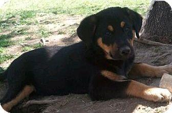 Hound (Unknown Type) Mix Puppy for adoption in Hollis, Maine - rachel