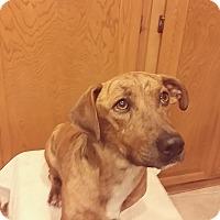 Adopt A Pet :: Roscoe - Santa Ana, CA