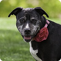 Labrador Retriever/Pit Bull Terrier Mix Dog for adoption in Washoe Valley, Nevada - Pinky