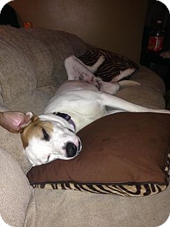 Pointer/American Bulldog Mix Dog for adoption in Kittery, Maine - Droopy