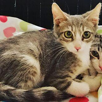 Domestic Shorthair Cat for adoption in Phoenix, Arizona - Steve