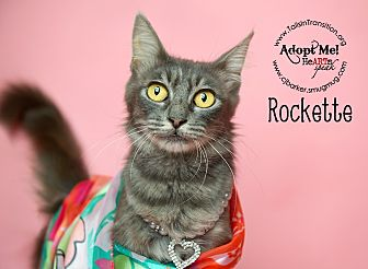 Domestic Longhair Cat for adoption in Friendswood, Texas - Rockette