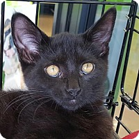 Domestic Shorthair Cat for adoption in Walworth, New York - Joy