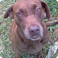 Labrador Retriever Mix Dog for adoption in Odessa, Florida - CLEVELAND