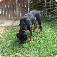Rottweiler Puppy for adoption in Yucaipa, California - Annika