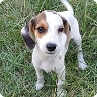 Adopt A Pet :: Simon - West Springfield, MA