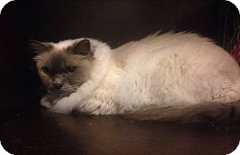 Birman Cat for adoption in Mt Pleasant, Pennsylvania - Skyler