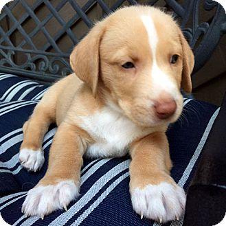 Basset Hound Mix Puppy for adoption in Pennsville, New Jersey - STANLEY - ADOPTION PENDING!