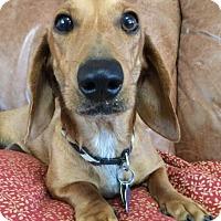Adopt A Pet :: Mustard - Vacaville, CA