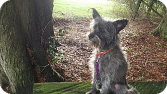 Cairn Terrier/Terrier (Unknown Type, Medium) Mix Dog for adoption in Custer, Washington - Leah