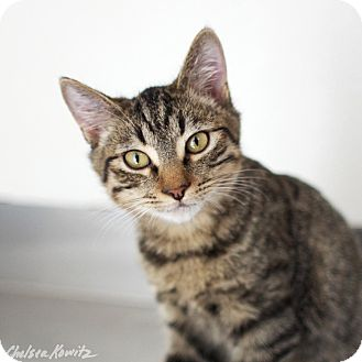 Domestic Shorthair Cat for adoption in Canyon Country, California - Robin