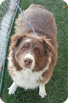 Australian Shepherd Mix Dog for adoption in Fruit Heights, Utah - Marshmallow