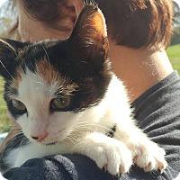 Calico Kitten for adoption in Clarkson, Kentucky - Jolene
