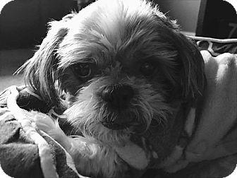 Shih Tzu Mix Dog for adoption in Urbana, Ohio - Cabela Montgomery