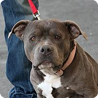 Adopt A Pet :: Bacall - Palmdale, CA