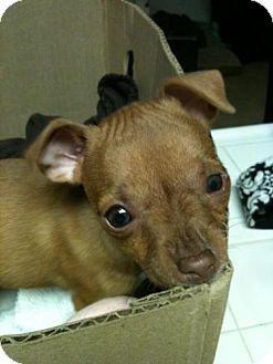 Chihuahua Mix Puppy for adoption in Las Vegas, Nevada - Tippy Toe