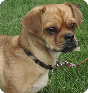 pug and weiner dog mix zorro adopted dog 13048do owatonna mn pug 1875