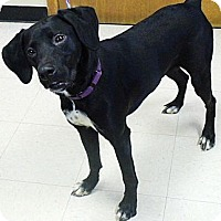 Adopt A Pet :: Katie - Washington Court House, OH
