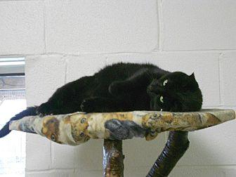 Domestic Shorthair Cat for adoption in Huntsville, Alabama - Jack Sparrow