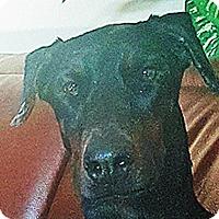 Adopt A Pet :: Raven - Las Vegas, NV