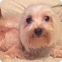 Adopt A Pet :: Lilly ADOPTION PENDING - East Hartford, CT