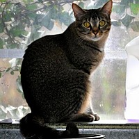 Domestic Shorthair Cat for adoption in Siler City, North Carolina - Sheena