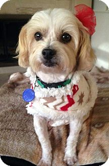 maltese rescue san diego san diego ca maltese mix meet mindy a dog for adoption 9666