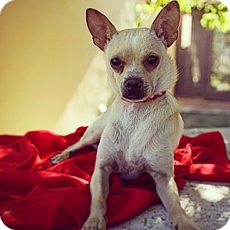 Chihuahua/Italian Greyhound Mix Puppy for adoption in Orange, California - Donny