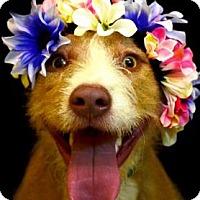 Terrier (Unknown Type, Medium) Mix Dog for adoption in Fort Smith, Arkansas - Summer