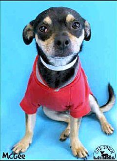 Pug/Chihuahua Mix Dog for adoption in Phoenix, Arizona - McGee