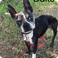 Adopt A Pet :: Duke - Weatherford, TX