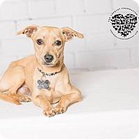 Adopt A Pet :: Thomas - Redondo Beach, CA
