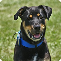 Rottweiler Mix Dog for adoption in Hawk Point, Missouri - Wiley