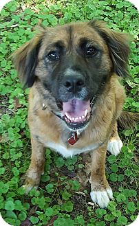 Retriever (Unknown Type)/Chow Chow Mix Dog for adoption in Smithtown, New York - Hilda