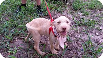 German Wirehaired Pointer/Labrador Retriever Mix Puppy for adoption in Leming, Texas - Eileena
