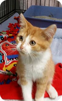 Domestic Shorthair Kitten for adoption in Port Clinton, Ohio - Dakota