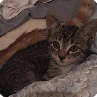 Domestic Mediumhair Kitten for adoption in Tallahassee, Florida - Barney