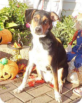 Blue Heeler/Hound (Unknown Type) Mix Puppy for adoption in West Chicago, Illinois - Mitzi