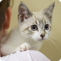 Siamese Kitten for adoption in Sioux Falls, South Dakota - Harper