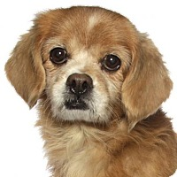 Chihuahua Mix Dog for adoption in Oakland Park, Florida - Honey Marie