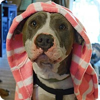 Pit Bull Terrier Mix Dog for adoption in St Paul, Minnesota - Buddy