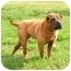 Photo 3 - Shar Pei Dog for adoption in Centerton, Arkansas - Aces