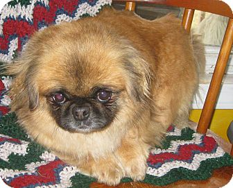 Pekingese Dog for adoption in Prole, Iowa - Beth