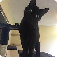 Domestic Shorthair Cat for adoption in Jupiter, Florida - Kiki
